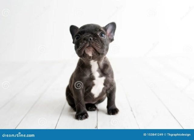 portrait of french bulldog, frenchies puppy stock