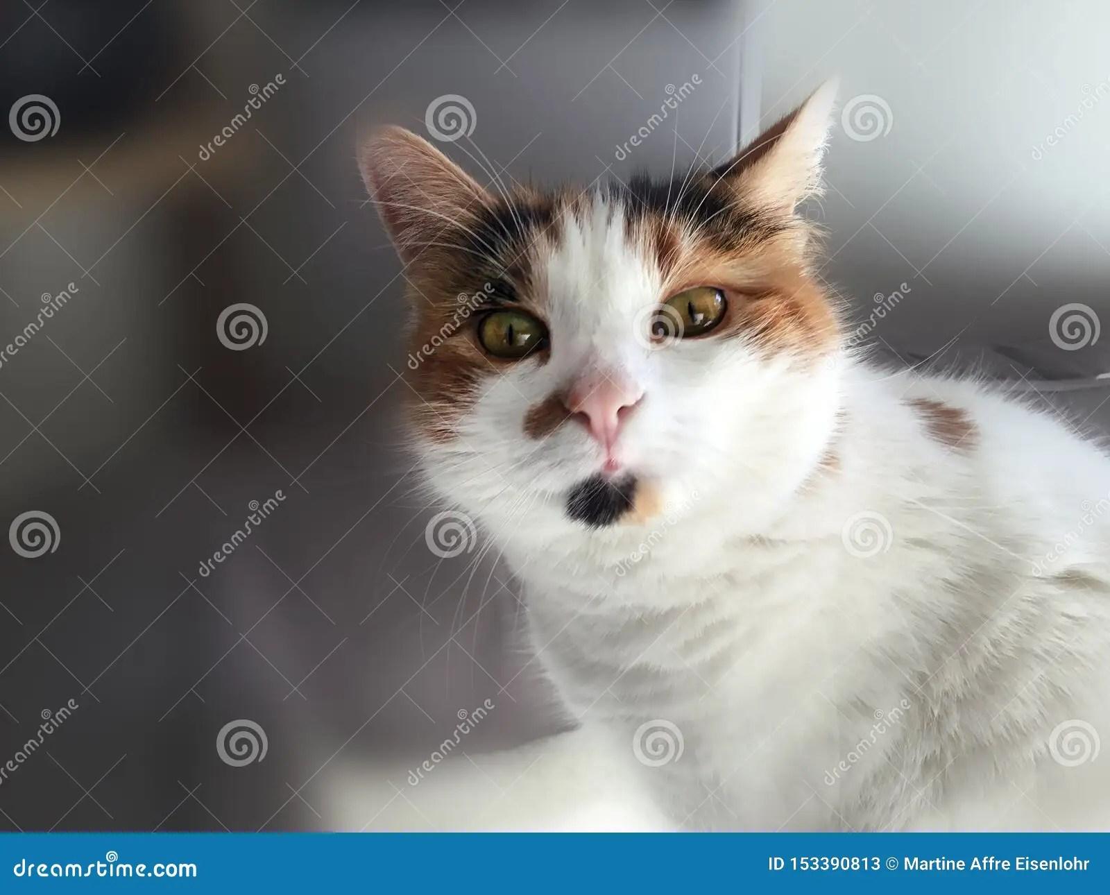 Portrait Of Funny Calico Cat Stock Image