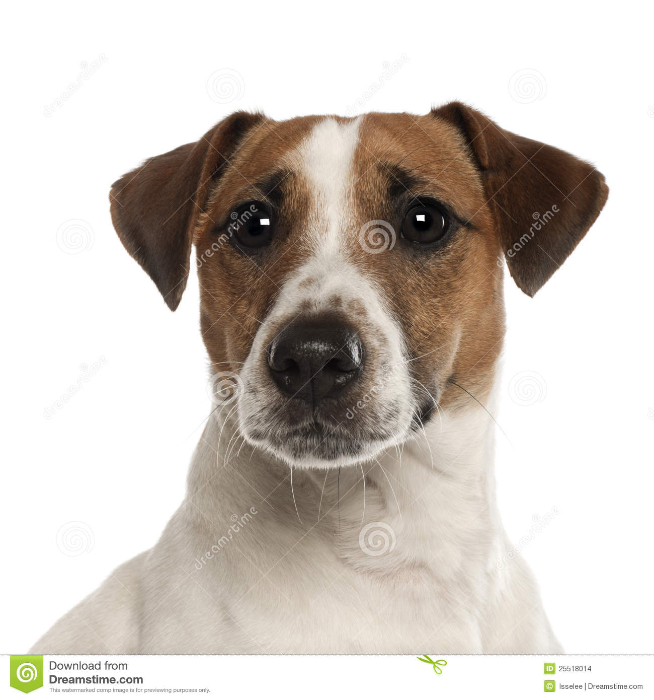 Portrait Of Jack Russell Terrier 1 Year Old Stock Images