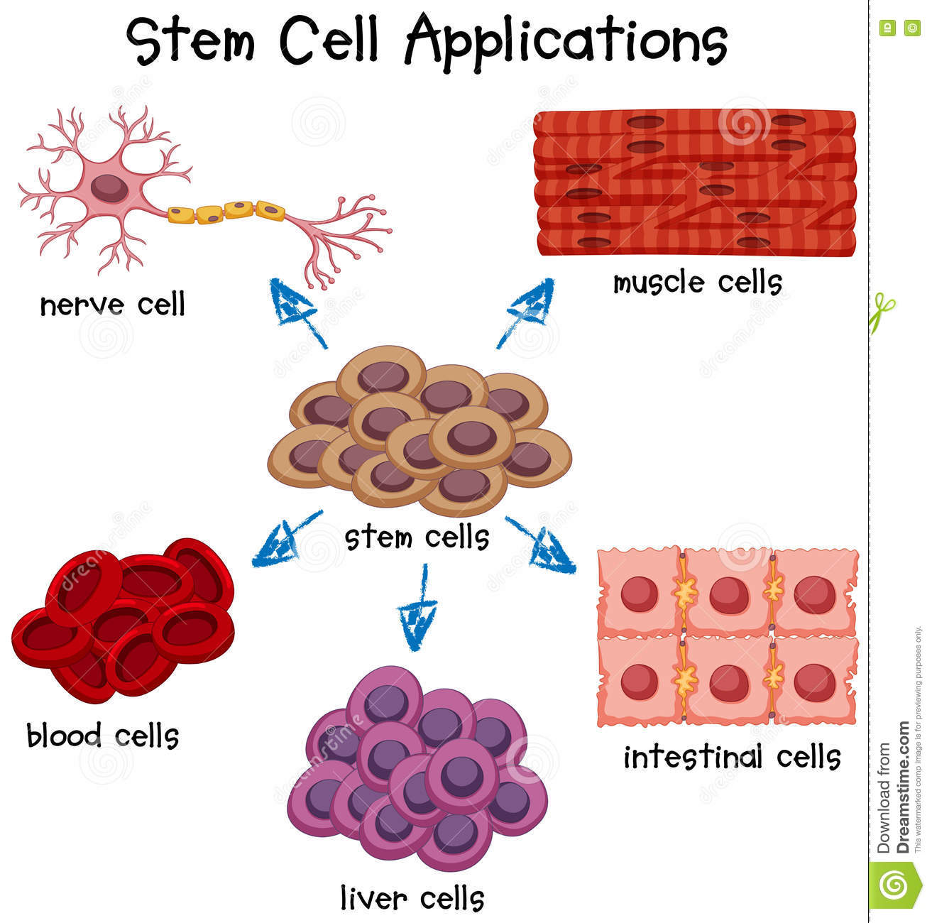 Poster Showing Different Stem Cell Applications Stock Vector