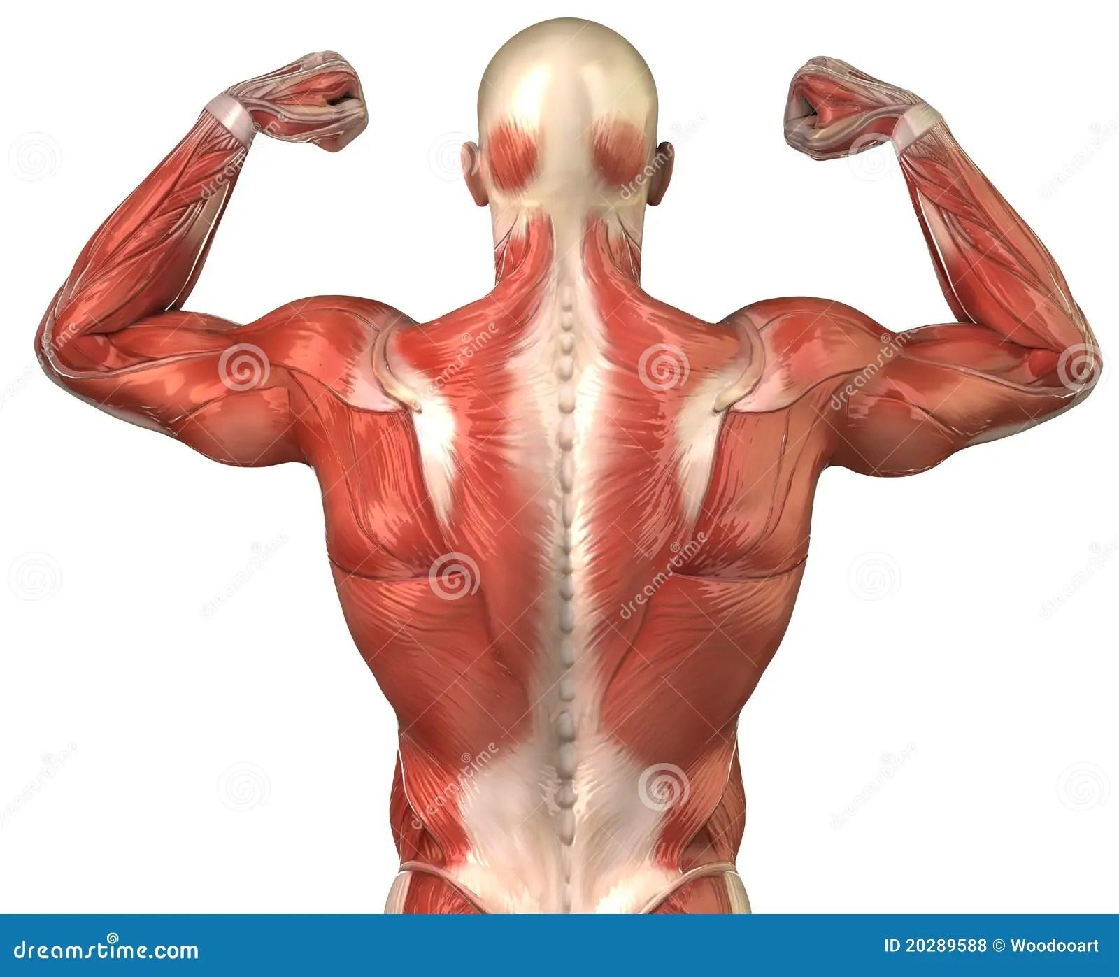 Posteriore Muscolare Posteriore Del Sistema Dell Uomo