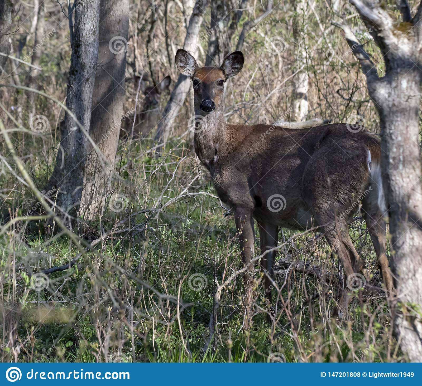 Pregnant Whitetail Deer Doe Stock Photo