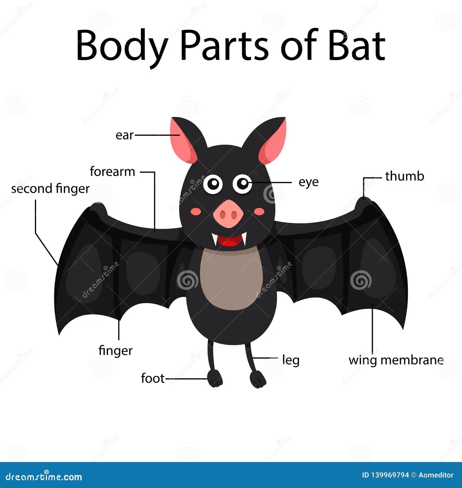 Bat Body Parts Animal Anatomy In English Cartoon Vector