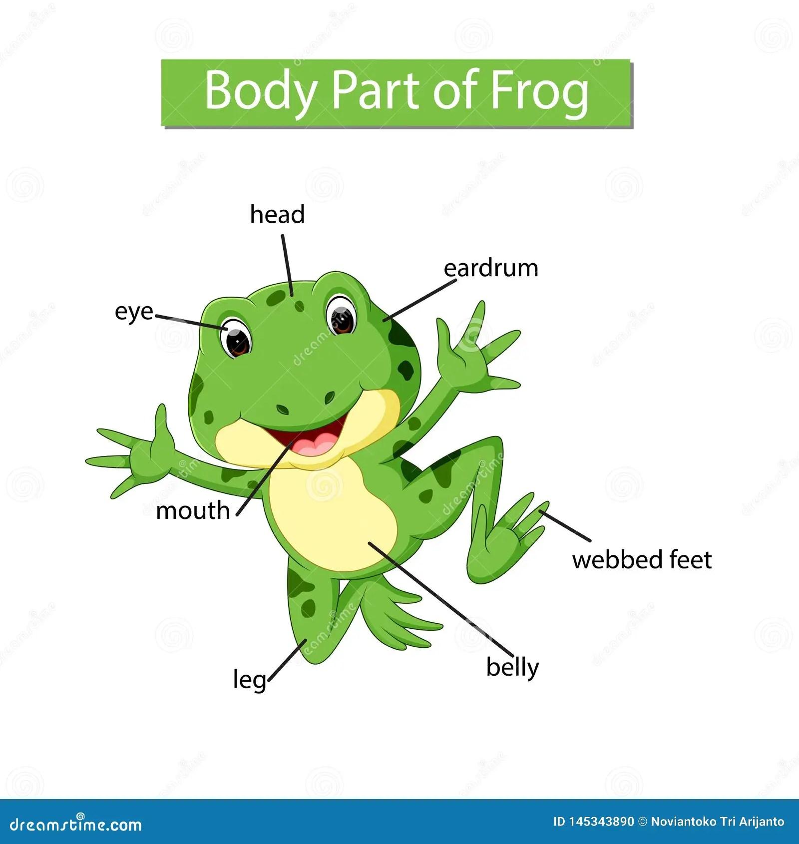 Diagram Showing Body Part Of Frog Stock Vector