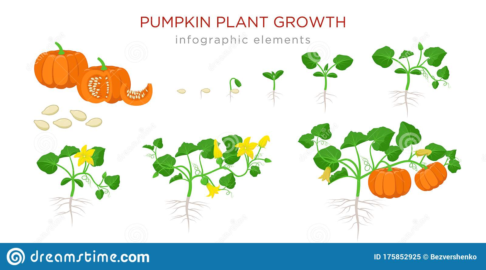 Pumpkin Plant Growth Stages Infographic Elements In Flat