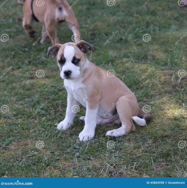 puppy stock photo. image of ears, bulldog, white, puppy - 43864598