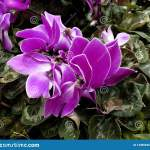 Purple Imperial Violet Flower In A Garden Stock Photo Image Of Flower Family 143856354