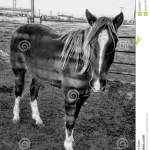 Ranch Horses Stock Image Image Of Fauna Livestock Barn 89868647