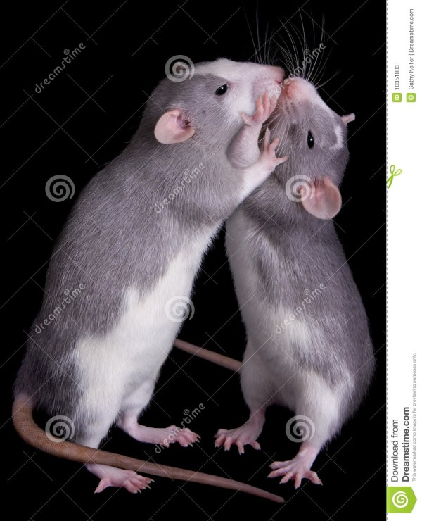 Rat Love stock image Image of companions embrace caring
