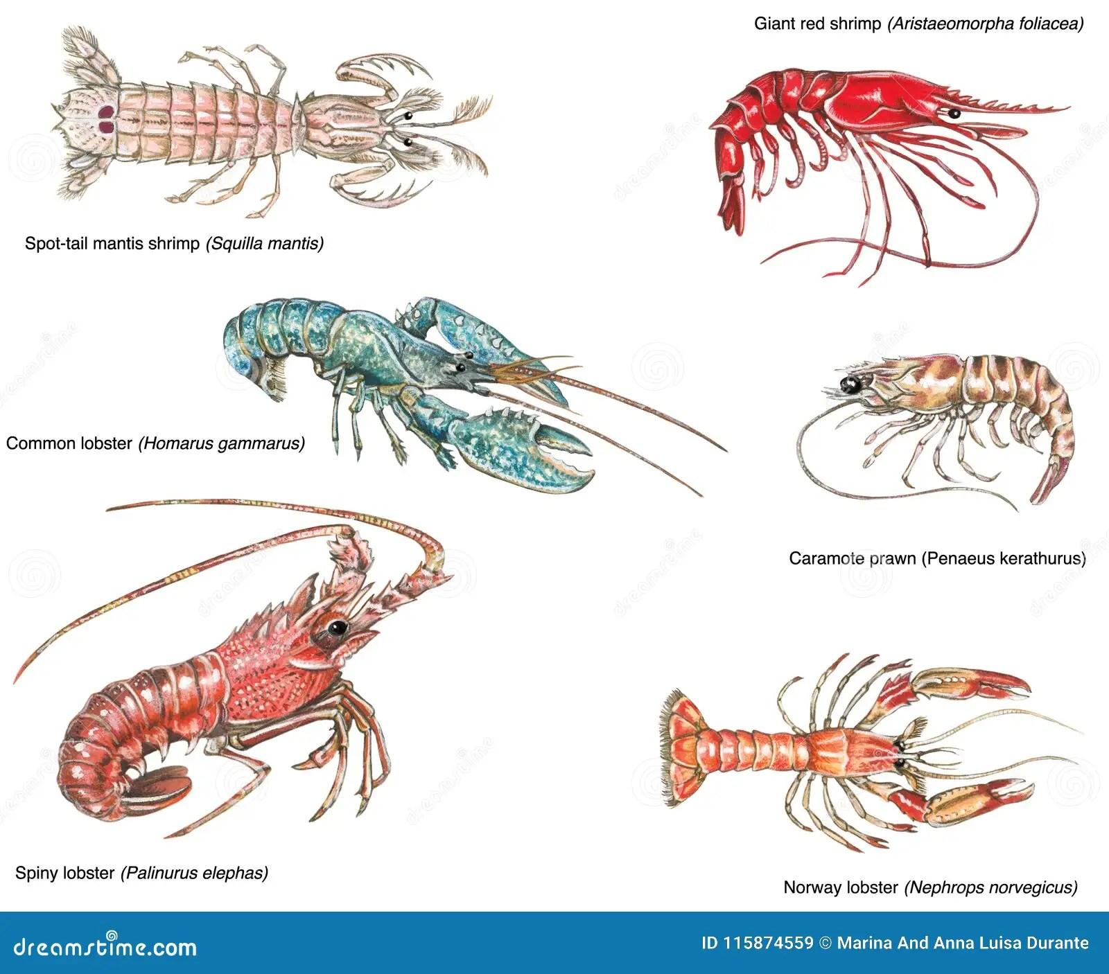 Scientific Illustration Of Different Crustaceans Stock