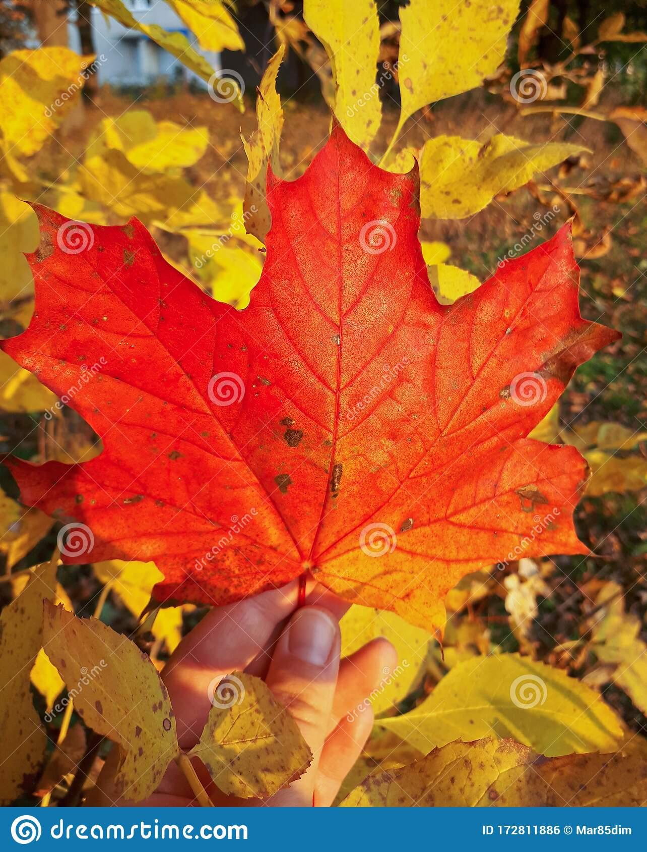 Red Autumn Maple Leaf In Hand Background Of Yellow Leaves