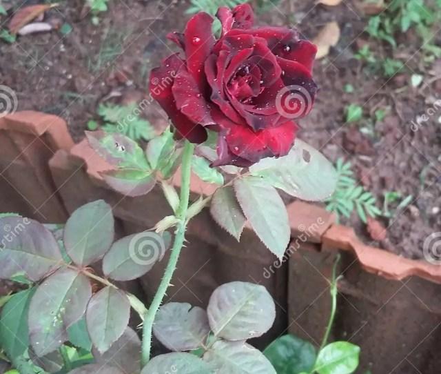 Red And Black Rose Wonderful