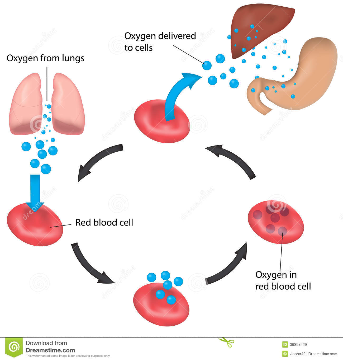 Red Blood Cell Cycle Respiration Labeled Liver And Stock Vector