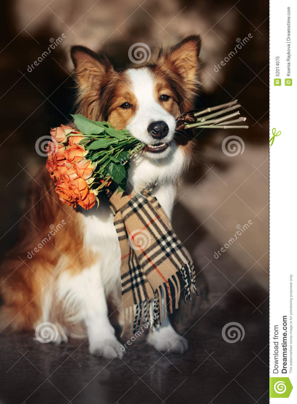 Red Border Collie Dog Holding A Bouquet Of Flowers Stock