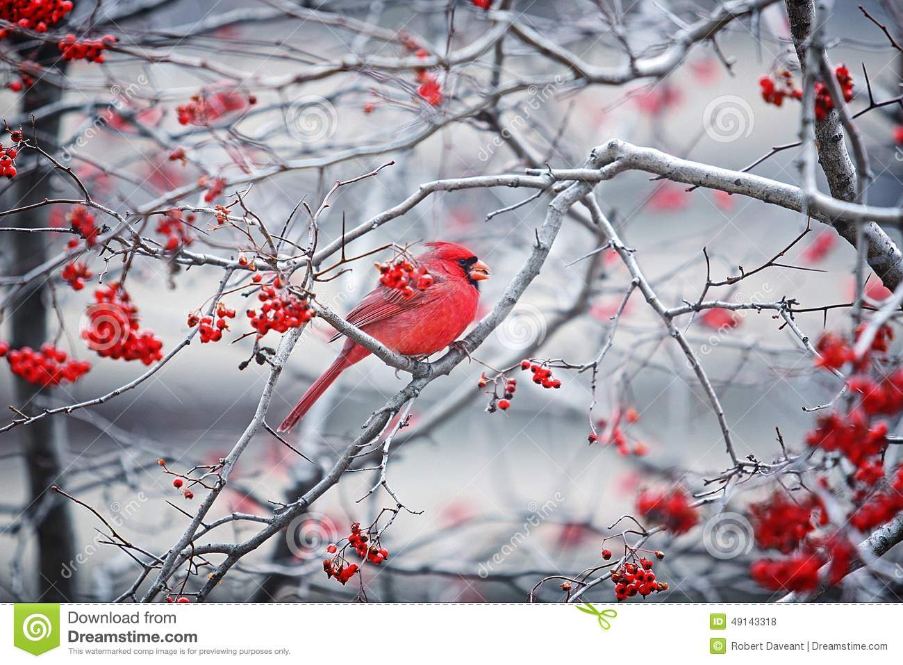 Red Cardinal Sitting In A Tree With Red Berries Stock