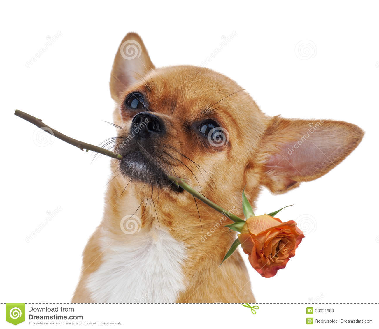 Red Chihuahua Dog With Rose Isolated On White Background