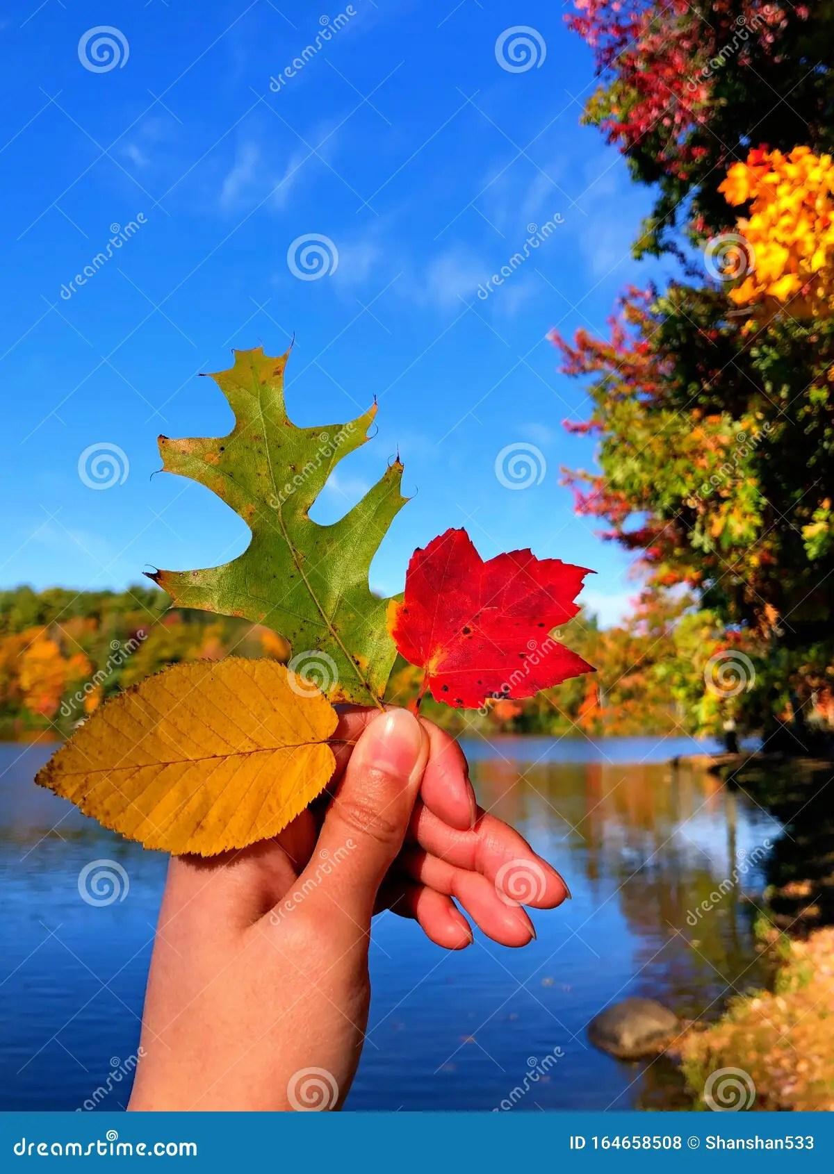 Red Maple Tree Leaf Yellow Elm Leaf And A Green Oak Leaf
