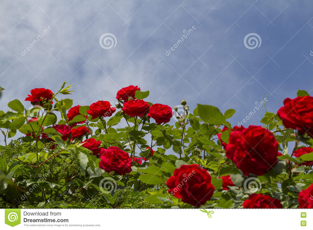 449 899 Roses Photos Free Royalty Free Stock Photos From Dreamstime