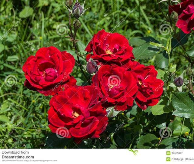 Roses Roses For The Day Of Love The Most Wonderful Natural Roses Suitable For Web Design Love Symbol Roses