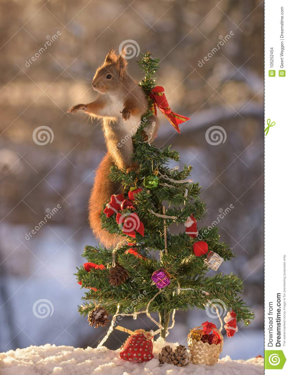 Squirrel In Christmas Tree Reaching Out Stock Photo