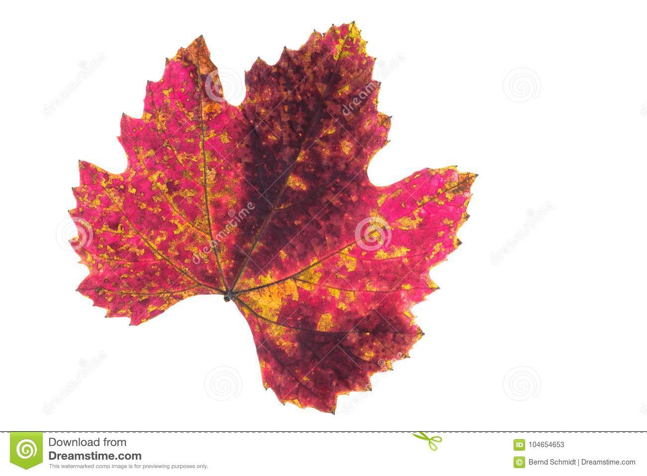 Red Yellow And Brown Staind On A Vine Leaf In Autumn