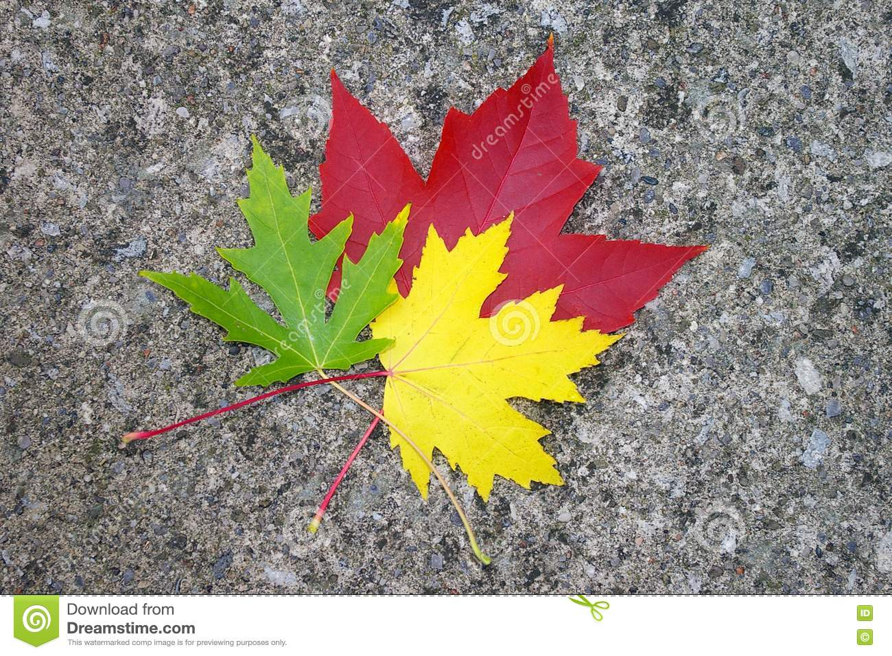 Red Yellow And Green Maple Leaves Stock Image
