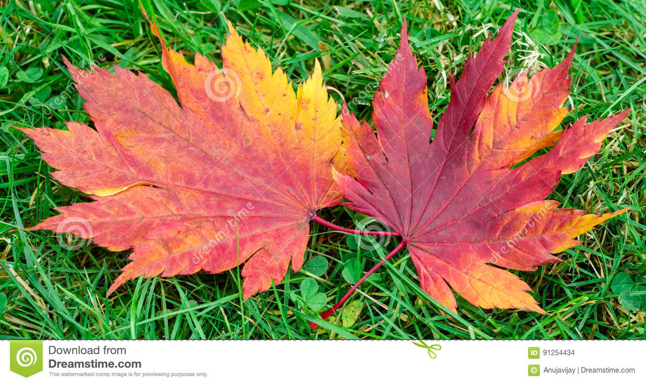 Red And Yellow Maple Leaf Stock Photo Image Of Concepts