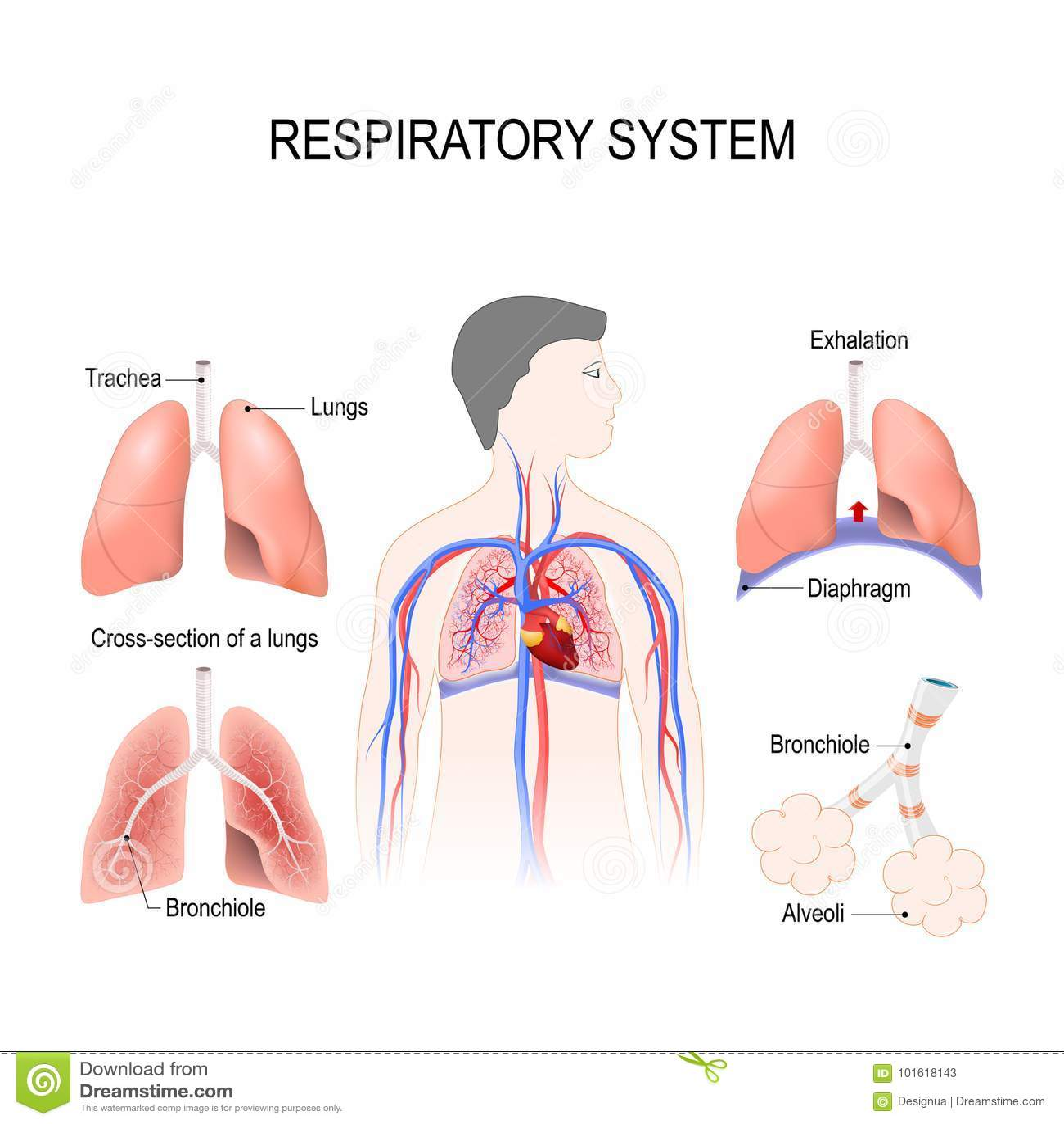 Bronchiole And Alveoli Respiratory System