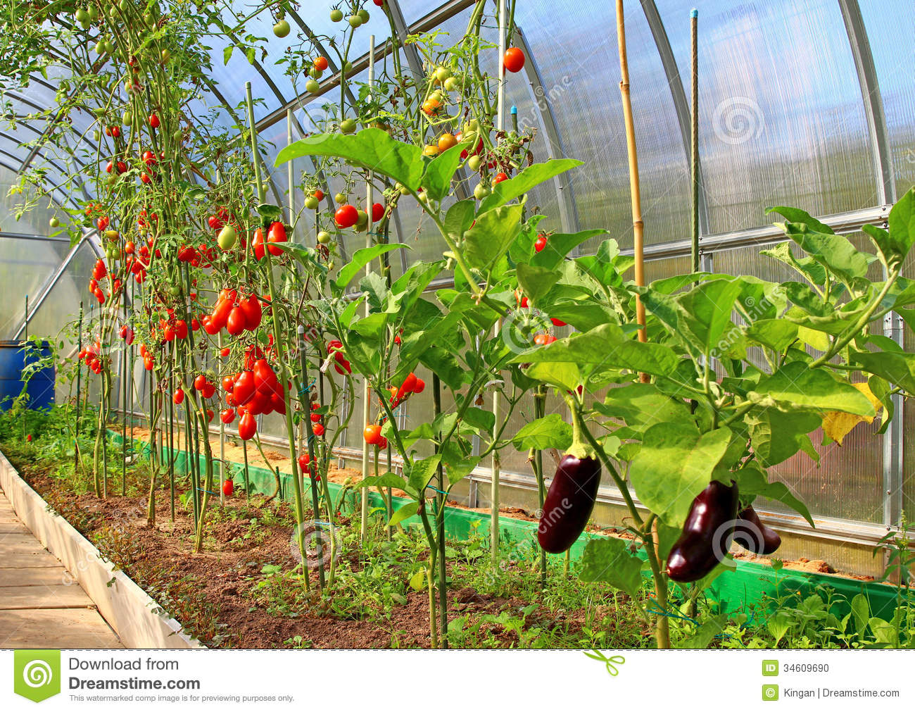Ripening Tomatoes And Eggplant In Greenhouse Stock Photo