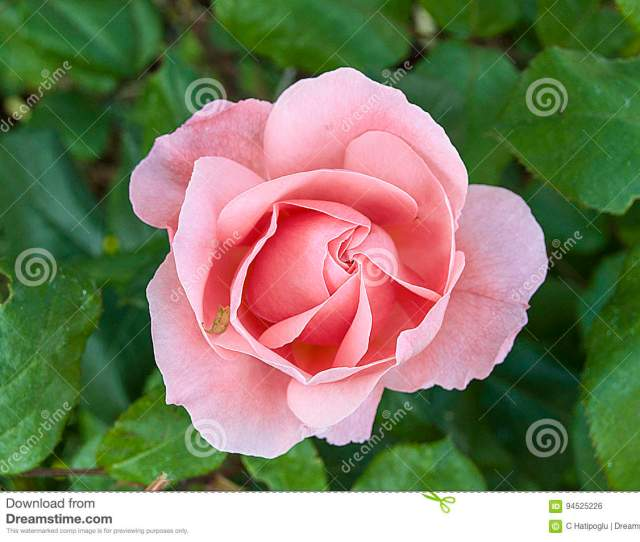 Roses Love Symbol Roroses Roses For The Day Of Love The Most Wonderful