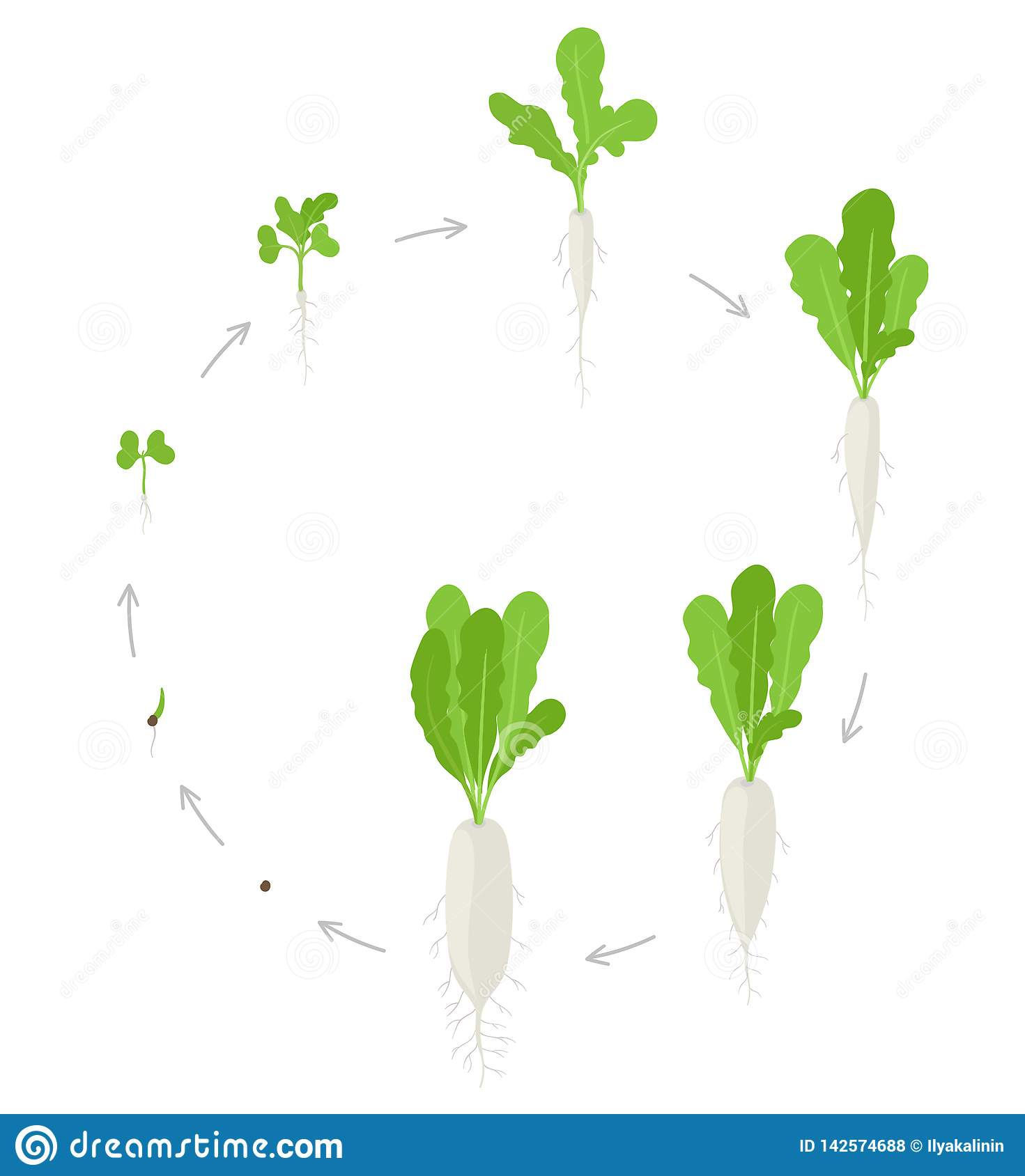 Round Crop Daikon Growth Stages Planting Of Long White