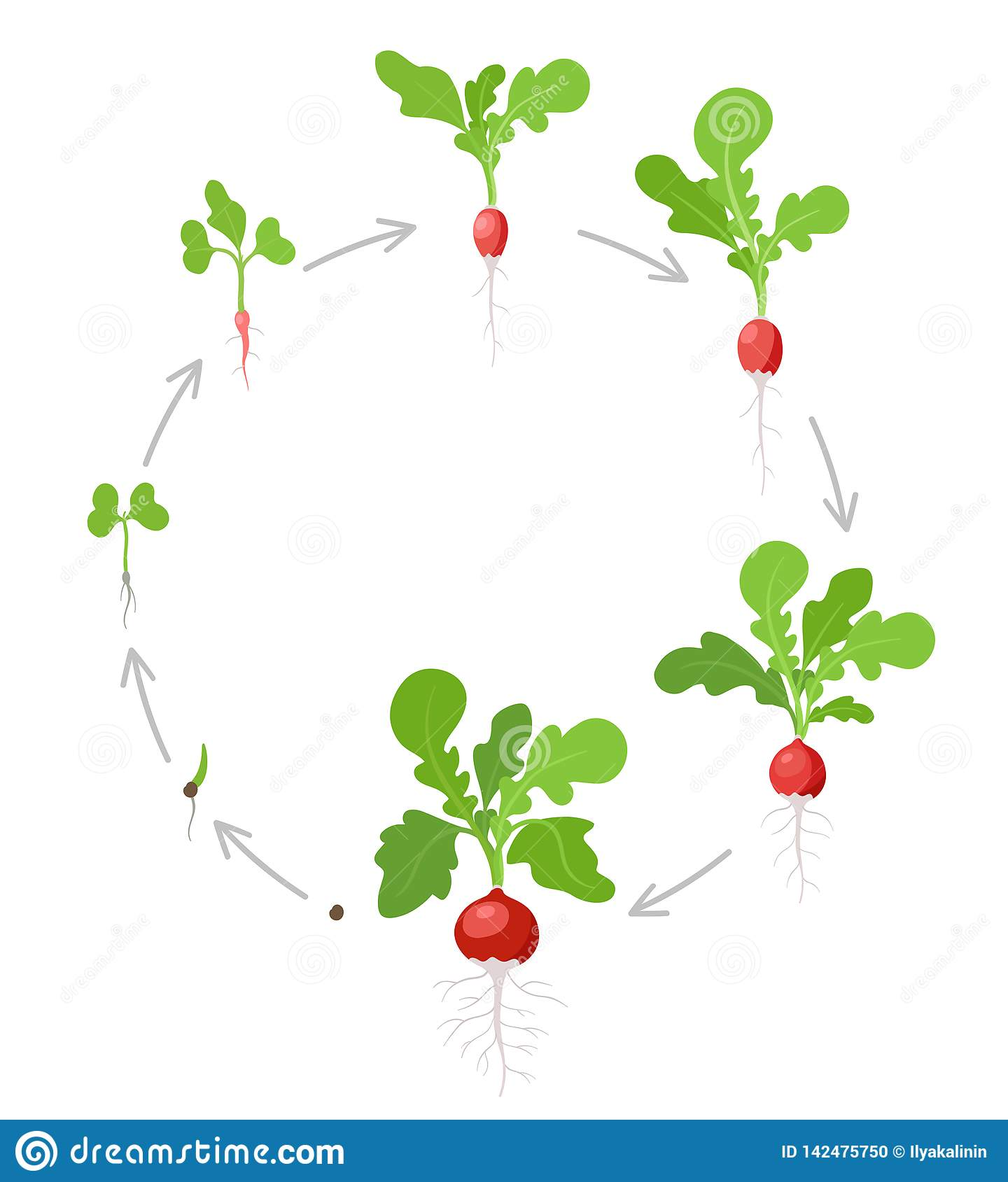 Round Growth Stages Of Radish Plant Vector Flat