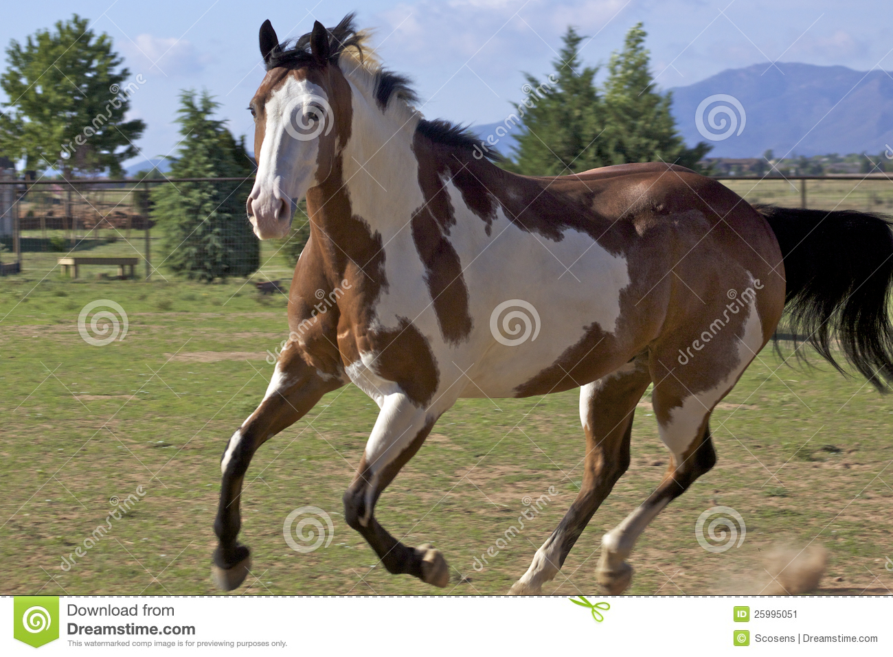 Running Paint Horse Stock Image Image Of Equine Motion
