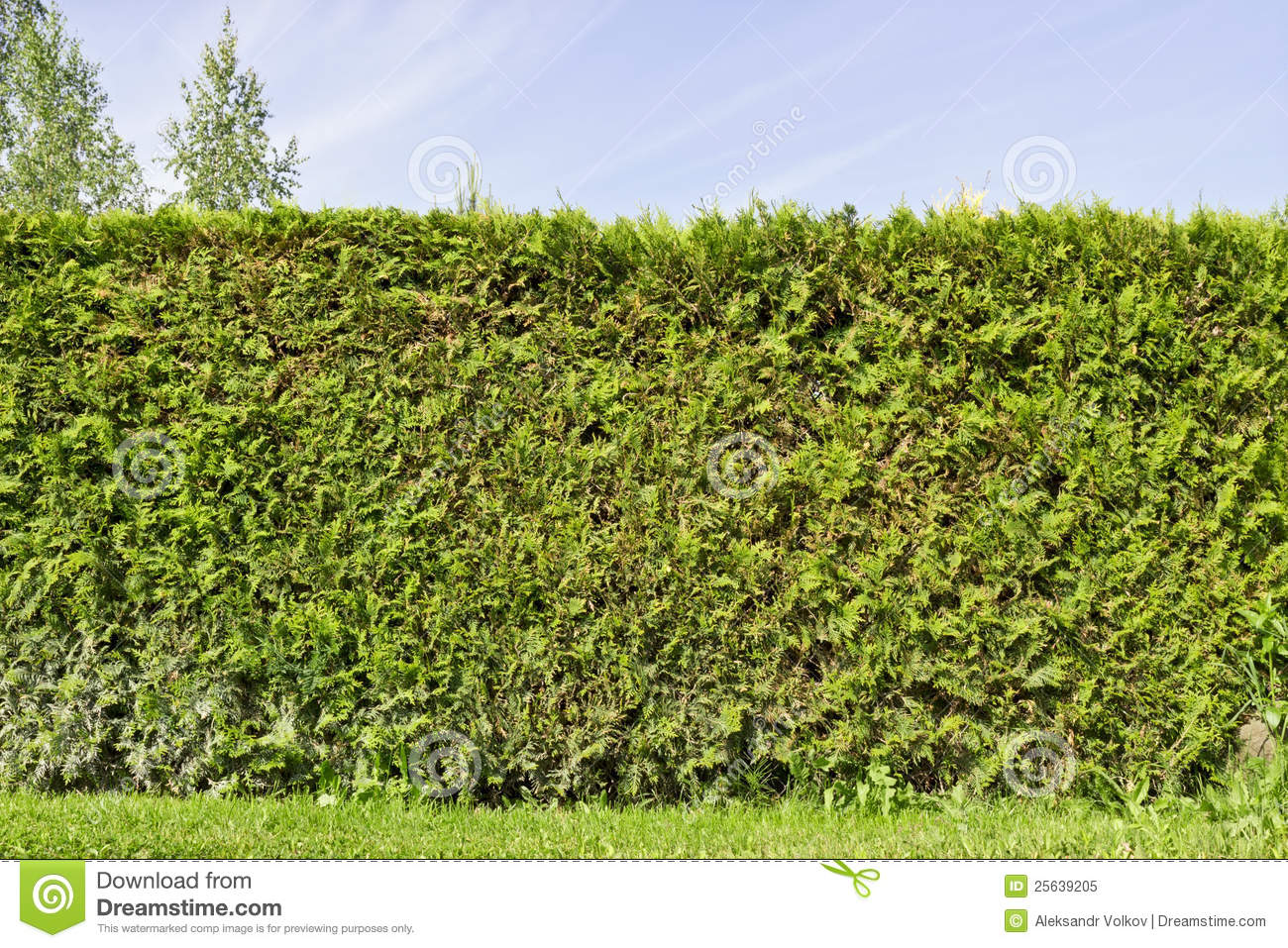 Rural Fence Hedge From Evergreen Plants Royalty Free Stock