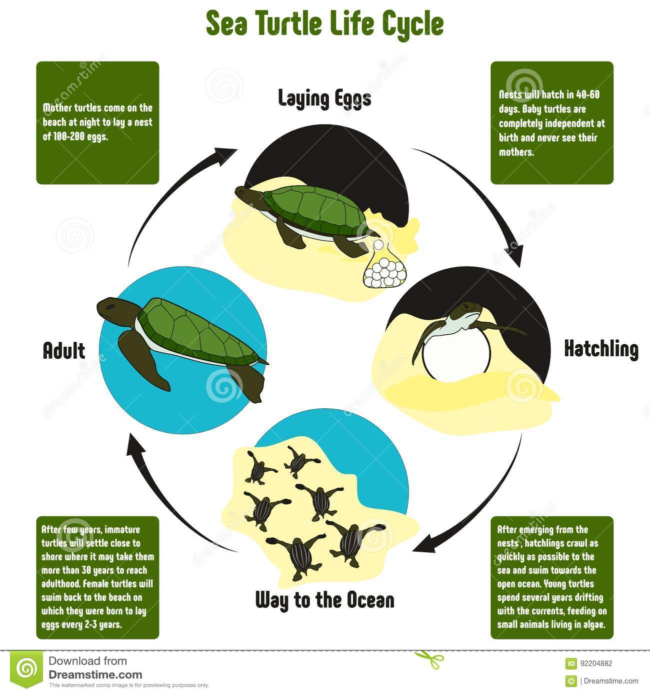 Sea Turtle Life Cycle Diagram Stock Vector