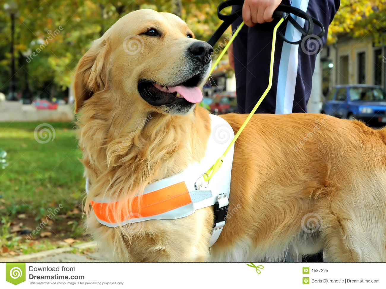 Seeing Eye Dog Stock Image Image Of Lead Love Safety