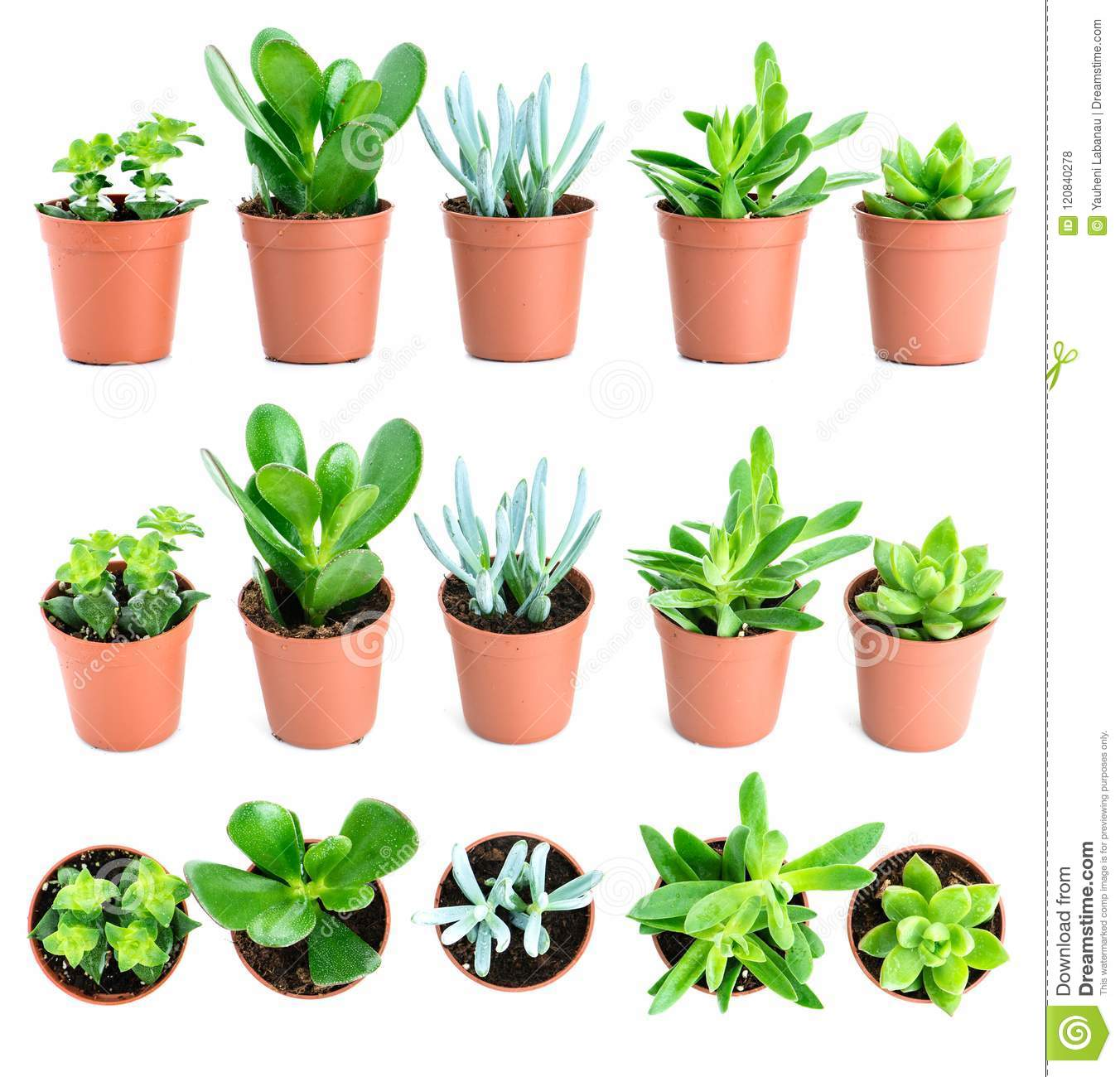 Set Of Pot Plant Echeveria And Other Succulents In