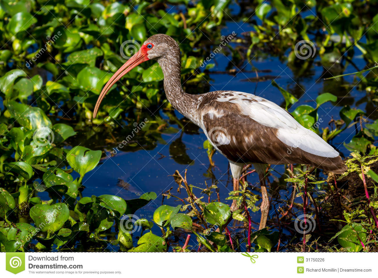 A Sharp Profile Of A Junvenile American White Ibis Water