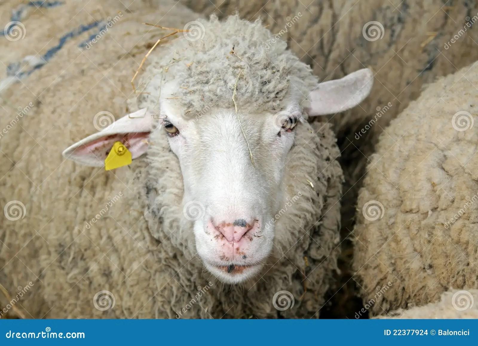 Sheep Head Stock Photo Image Of Livestock Head Mammal