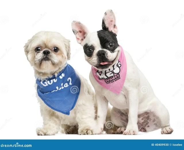 shih tzu and french bulldog puppy wearing bandana sitting