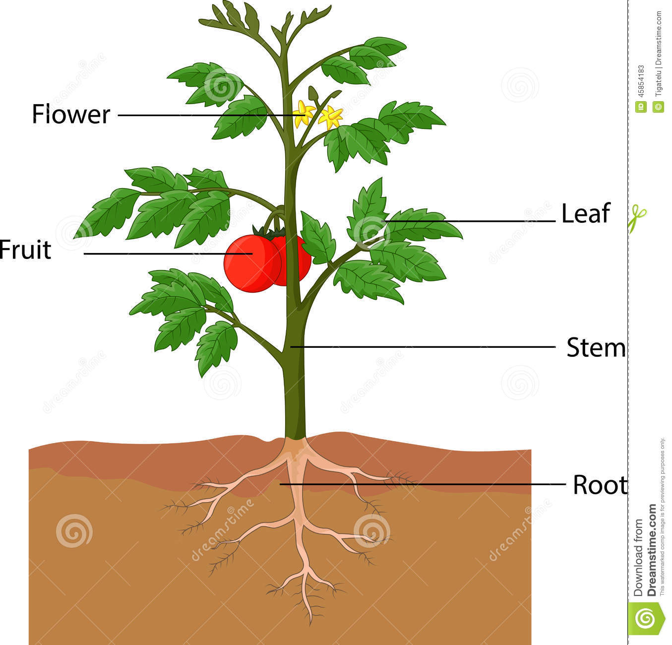 Showing The Parts Of A Tomato Plant Stock Vector