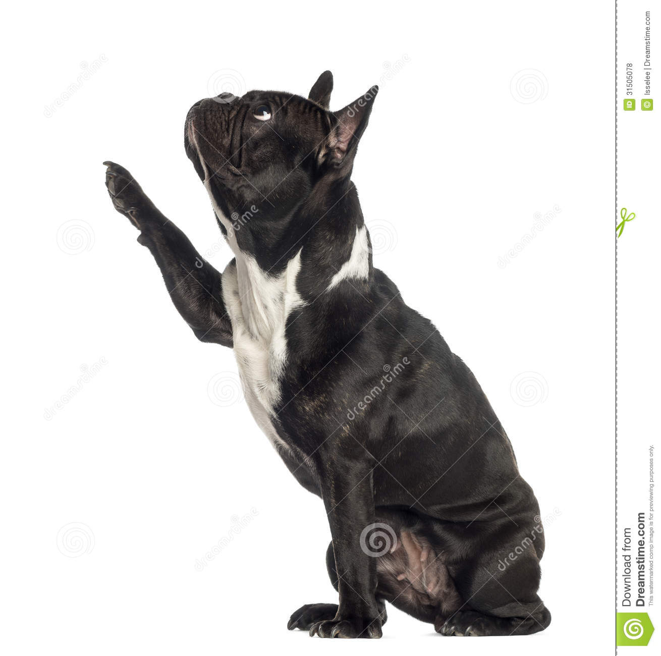 Side View Of A French Bulldog Pawing Up Royalty Free Stock