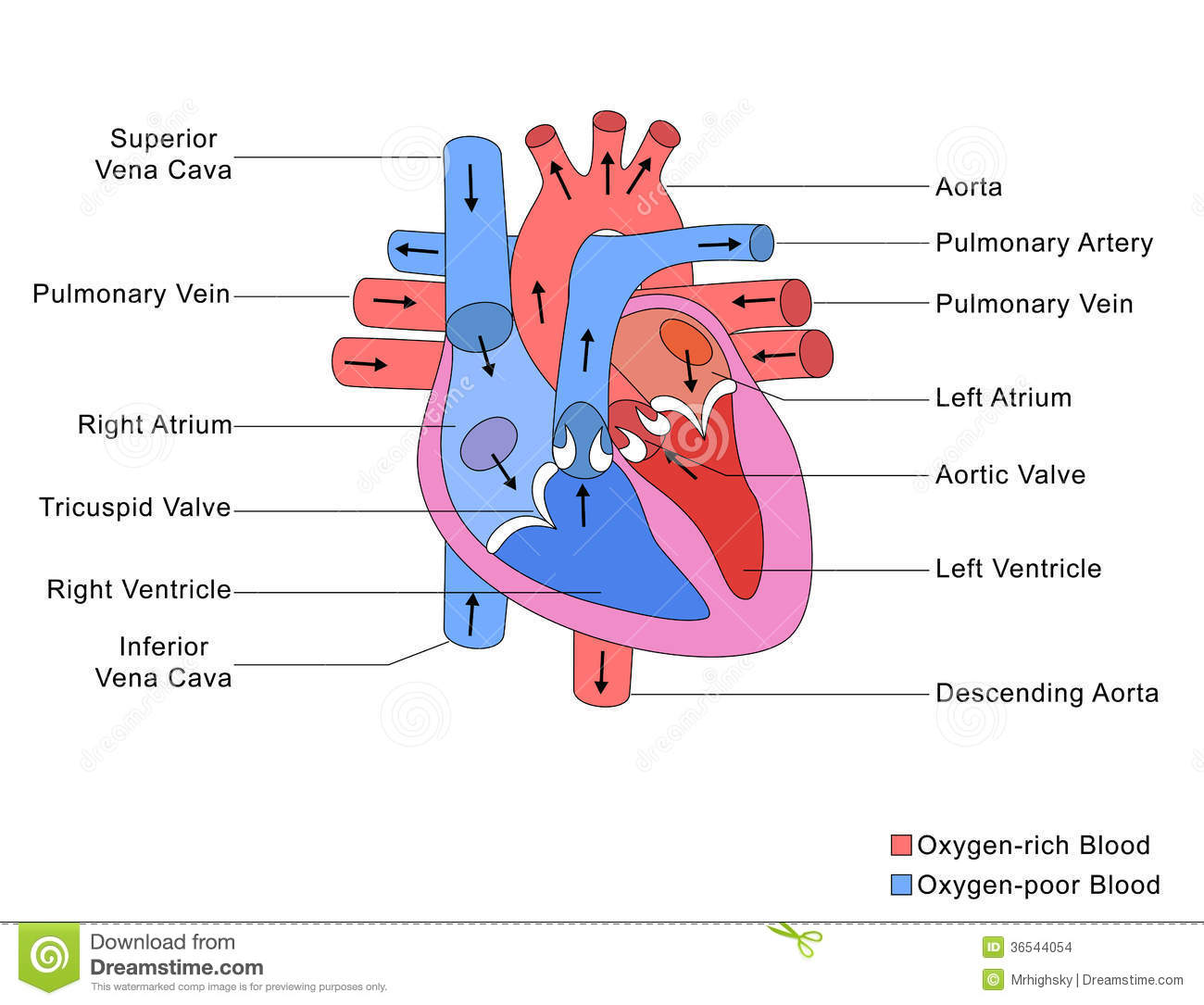 Circulatory System By Arianna Perez
