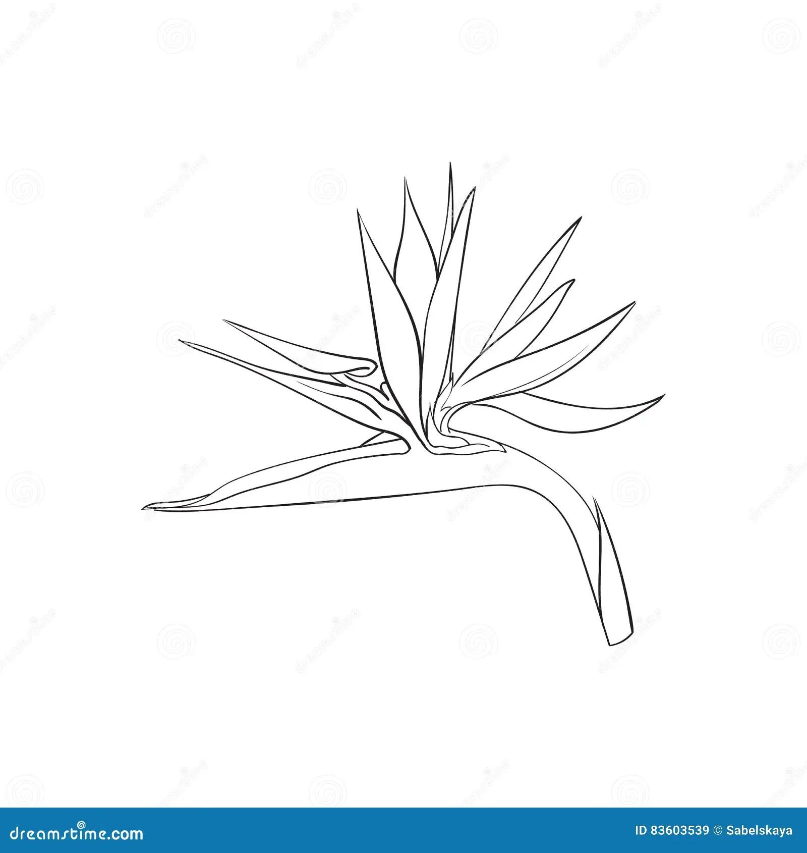 Single Bird Of Paradise Strelizia Tropical Flower Sketch