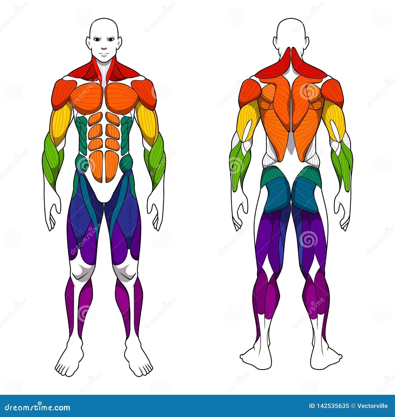Sistema Muscular Del Entrenamiento De La Anatomia Del