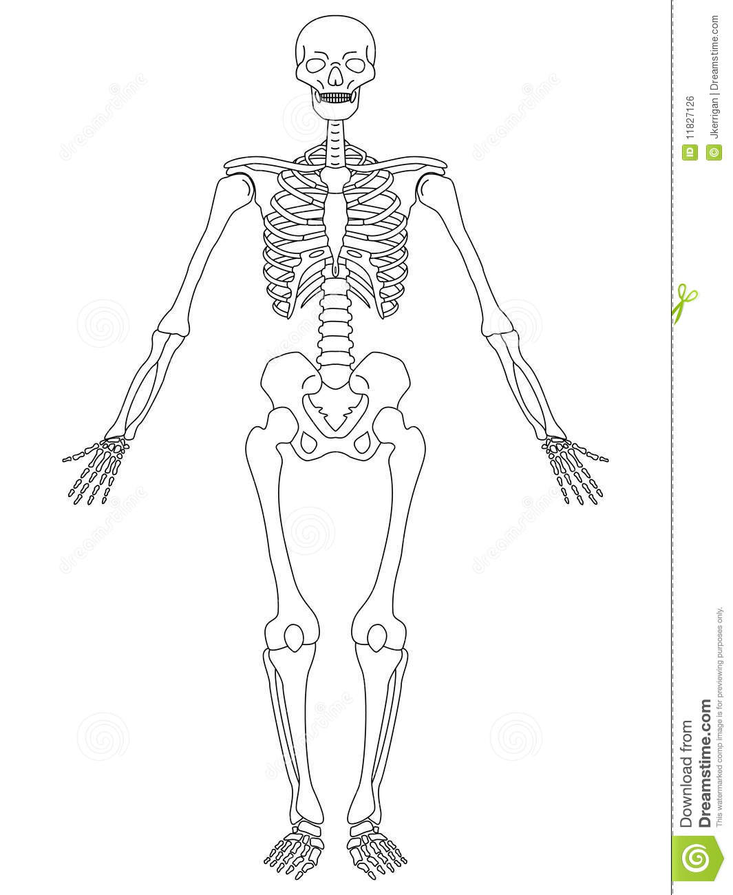 Skeleton Front View Stock Vector Illustration Of Medical