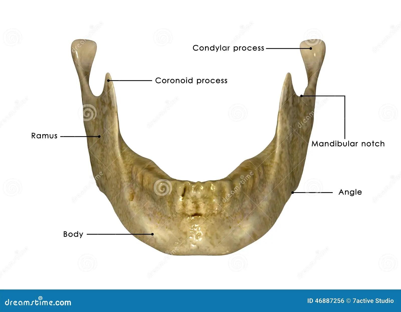 Skeleton Jaw Stock Illustration
