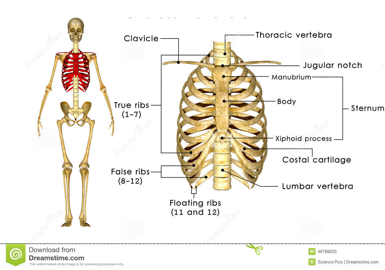 Skeleton Of Thorax Stock Illustration Illustration Of