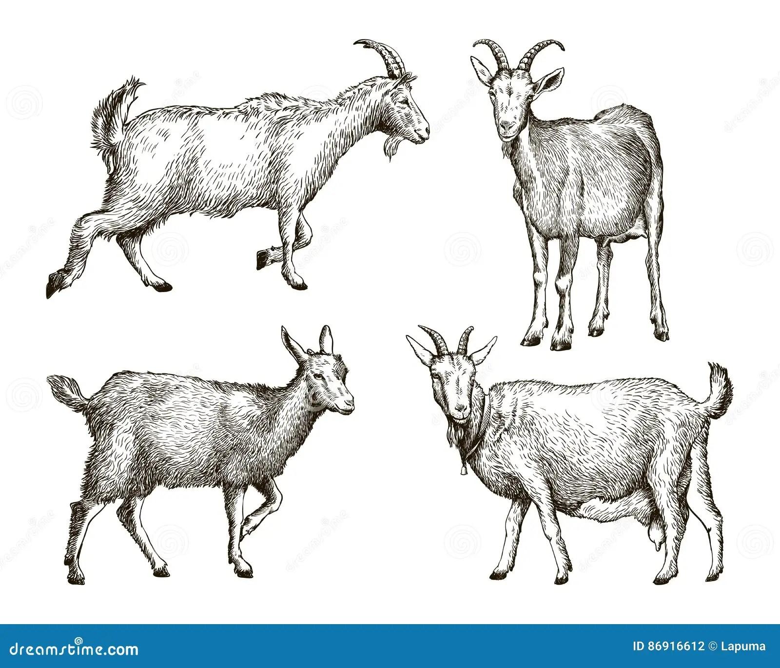 Livestock Cartoons Illustrations Amp Vector Stock Images