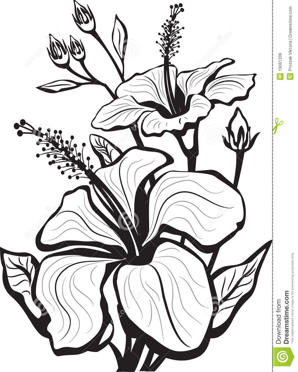 Sketch Of Hibiscus Flowers Stock Vector Illustration Of